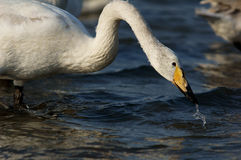 Swan Bay Royalty Free Stock Image