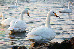 Swan Bay Royalty Free Stock Photography