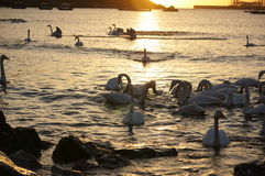 Swan Bay Royalty Free Stock Photos