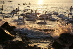 Swan Bay Royalty Free Stock Images