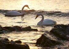 Swan Bay Stock Photos
