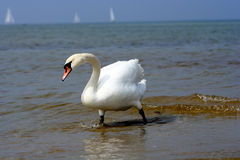 Swan at the Beach. Swan at the beach with boats in the background Royalty Free Stock Photos