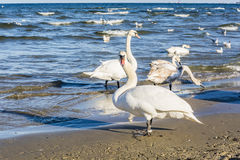 Swan on the beach on the Baltic Sea. Royalty Free Stock Images