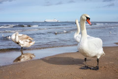 Swan on a beach with ferryboat in distance, travel concept. Stock Image
