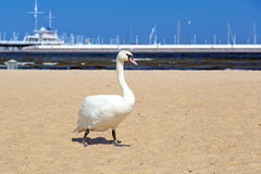 Swan on the beach in Sopot Stock Photo