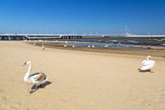 Swan on the beach in Sopot Royalty Free Stock Image