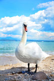 Swan on the beach Royalty Free Stock Photos