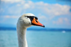Swan on the beach Royalty Free Stock Photo