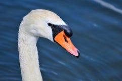 Swan, Beak, Bird, Water Bird royalty free stock image