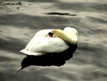 Swan, sulky, bashful, hiding, resting, ill stock photography