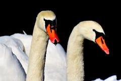 Swan, Beak, Water Bird, Bird stock photo