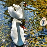 Swan. Beautiful animals swans Stock Photos