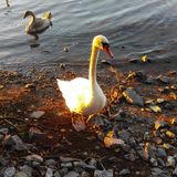 Swan. Beautiful swan on a beach in Finland stock images