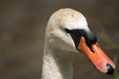 Swan. Beautiful bird from Poland. White swan Stock Photography