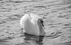 Swan beautiful black and white. Swan swimming and looking amazing Royalty Free Stock Photo