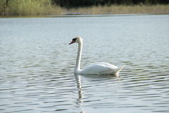Swan beautiful elegans. In the water Stock Images