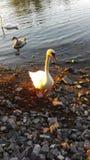 Swan. Beautiful swan in Finland royalty free stock image