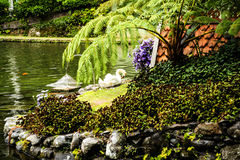 Swan in a Beautiful Garden at Monte above Funchal Madeira Royalty Free Stock Image