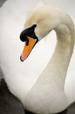 Swan. Beautiful swan posing on camera Stock Images