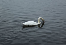 Swan. Beautiful swan swimming in the river looking for some food Royalty Free Stock Photo