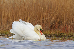 Swan in the beautiful white feathers Royalty Free Stock Images
