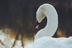 Swan. Beautiful white swan at the lake Stock Photos
