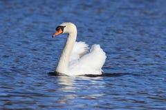 Swan Beauty Stock Photos