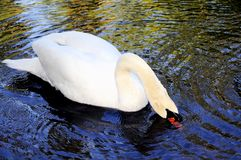 Swan with bill in water, Florida. Mute Swan in the blue water of a lake in South Florida.  Swans are birds of the family Anatidae within the genus Cygnus.  The Stock Photo