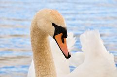 Swan, Bird, Beak, Water Bird royalty free stock photos