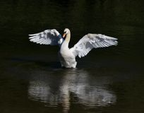 Swan, Bird, Fowl, White, Mute Swan Stock Photo