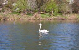 swan, bird, lake Stock Image
