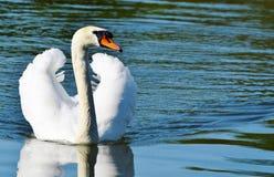 Swan, Bird, Water Bird, Animal Royalty Free Stock Images