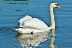 Swan, Bird, Water Bird, Animal Royalty Free Stock Photo