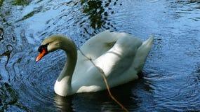 Swan, Bird, Water Bird, Beak stock images