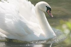 Swan, Bird, Water Bird, Ducks Geese And Swans Stock Photography