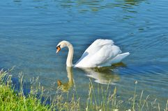 Swan, Bird, Water Bird, Ducks Geese And Swans stock images