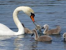 Swan, Bird, Water Bird, Ducks Geese And Swans stock photo