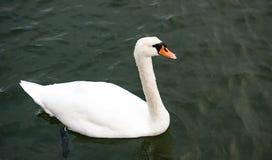 Swan, Bird, Water Bird, Ducks Geese And Swans Stock Image
