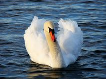 Swan, Bird, Water Bird, Ducks Geese And Swans royalty free stock photo