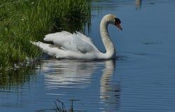 Swan, Bird, Water Bird, Water royalty free stock photo