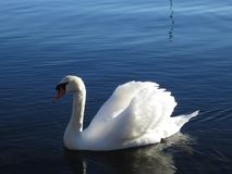 Swan, Bird, Water Bird, Water stock images