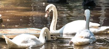 Swan bird in water royalty free stock photography