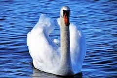 Swan, Bird, Water, Water Bird royalty free stock photos
