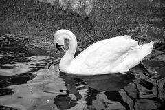 Swan bird with white feather and beak swim in lake. Water in zoo or wildlife on natural background royalty free stock photography
