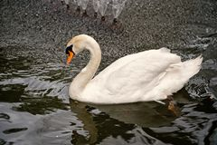 Swan bird with white feather and beak swim in lake. Water in zoo or wildlife on natural background royalty free stock images