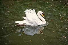 Swan bird with white feather and beak swim in lake. Water in zoo or wildlife on natural background stock photos