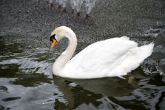 Swan bird with white feather and beak swim in lake. Water in zoo or wildlife on natural background Stock Image