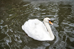 Swan bird with white feather and beak swim in lake. Water in zoo or wildlife on natural background Stock Photography