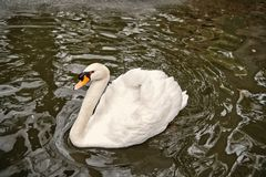 Swan bird with white feather and beak swim in lake. Water in zoo or wildlife on natural background stock images