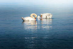 Swan birds fixing their feathers Stock Photo